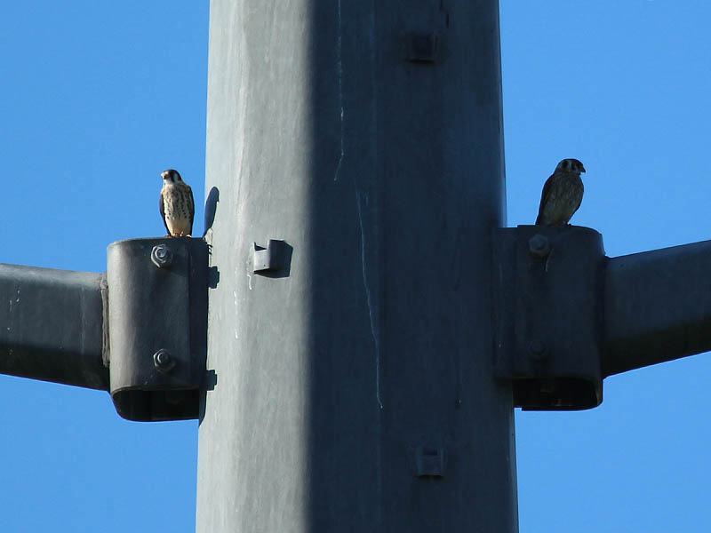 Mom is on the right.  The fledgling kestrel is on the left.