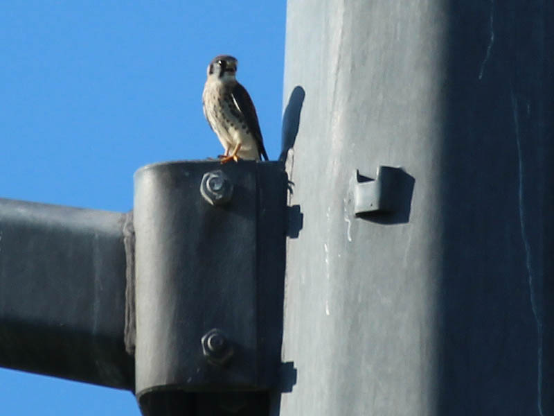 A closer look at the fledgling American Kestrel.