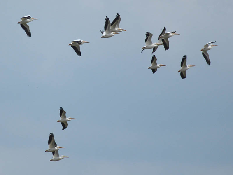 American White Pelican - Lake Ray Hubbard