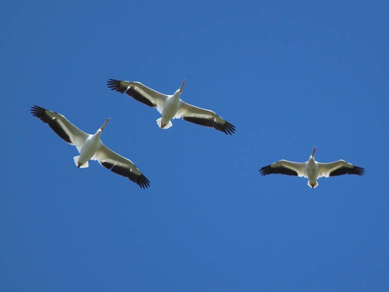 American White Pelican - Landing