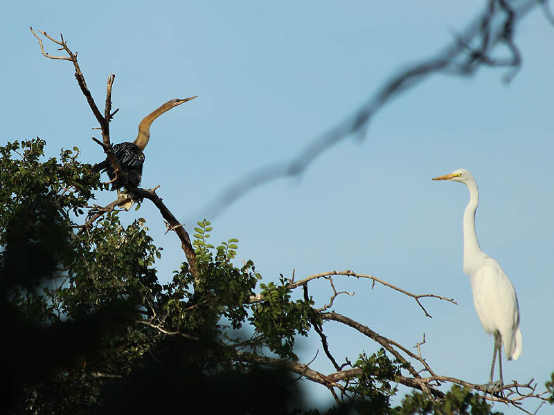 A fledgling Anhinga (left) next to an adult Great Egret (right).