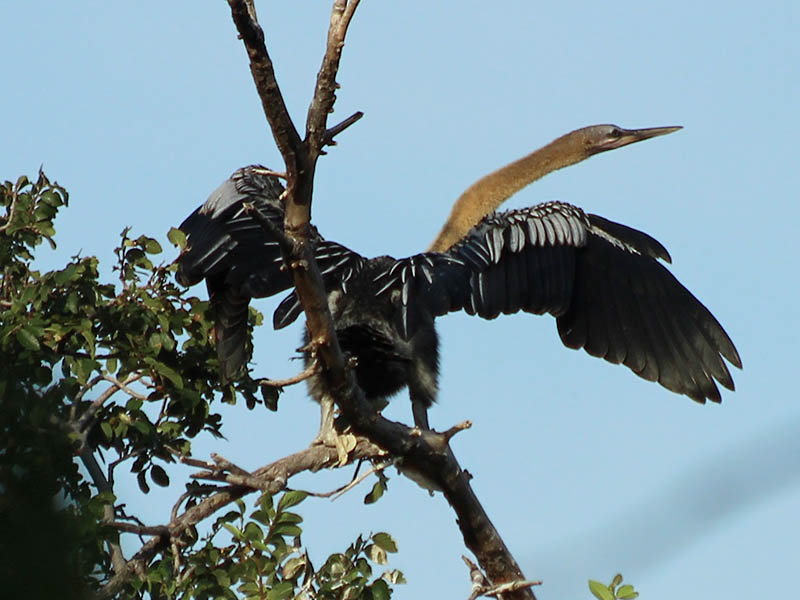 A juvenile Anhinga exercising his wings.