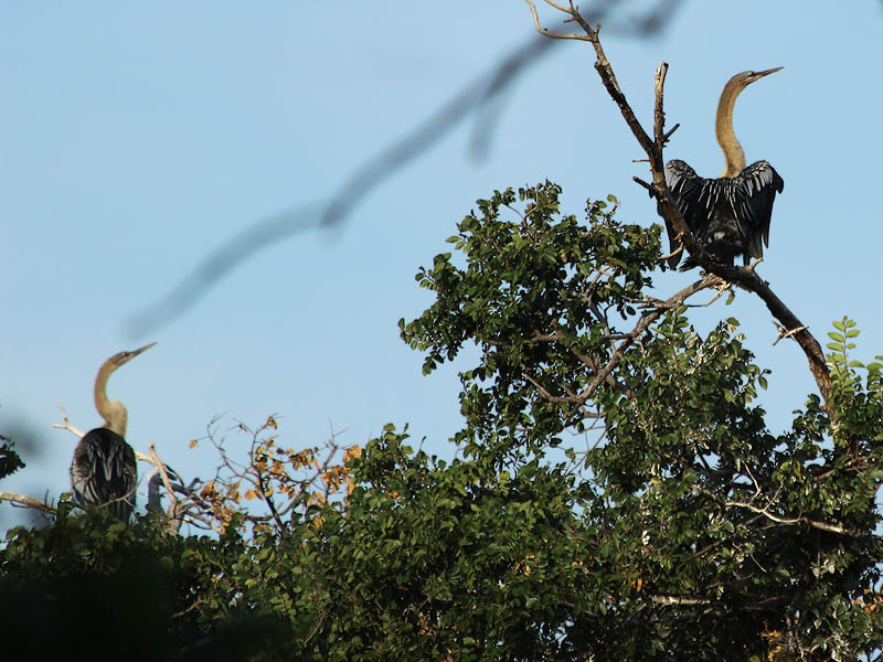 A pair of fledgling Anhingas together near the top of the canopy.