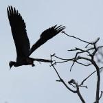 Anhinga - Males in Breeding Plumage