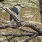 Black-crowned Night Heron - Beaver Pond