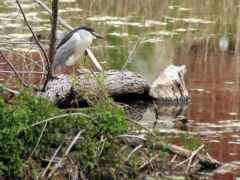 Black-crowned Night Heron - Beaver Pond