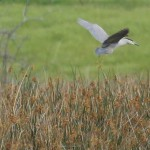 Black-crowned Night Heron - In Flight