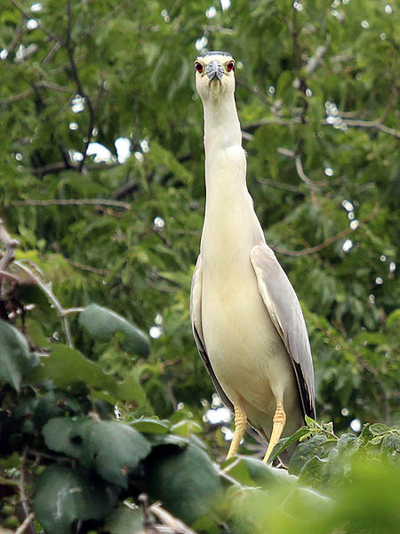 Black-crowned Night Heron - UTSWMCblack-crownednightheron-utswmc-001