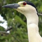Black-crowned Night Heron - UTSWMC
