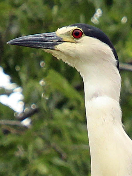 Black-crowned Night Heron - UTSWMCblack-crownednightheron-utswmc-002