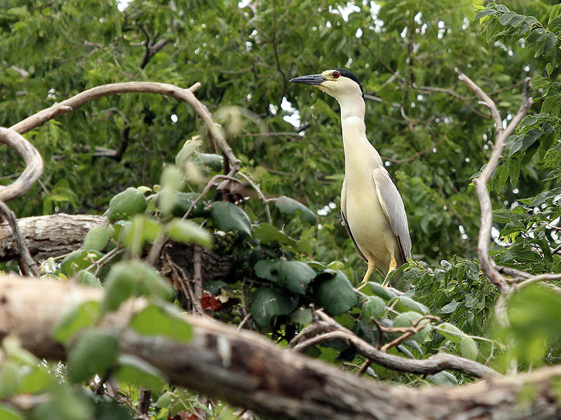 Black-crowned Night Heron - UTSWMCblack-crownednightheron-utswmc-003