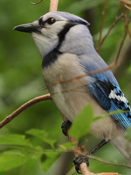 Blue Jay - Deep Woods
