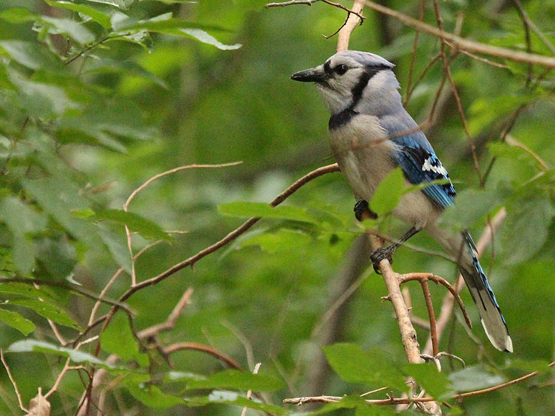 Blue Jay - Deep Woods