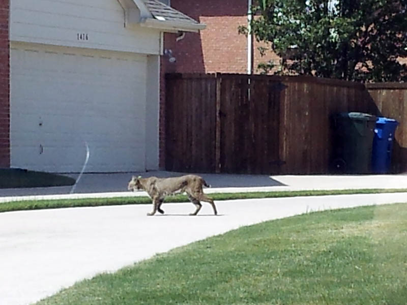 Bobcat - Neighborhood Stroll