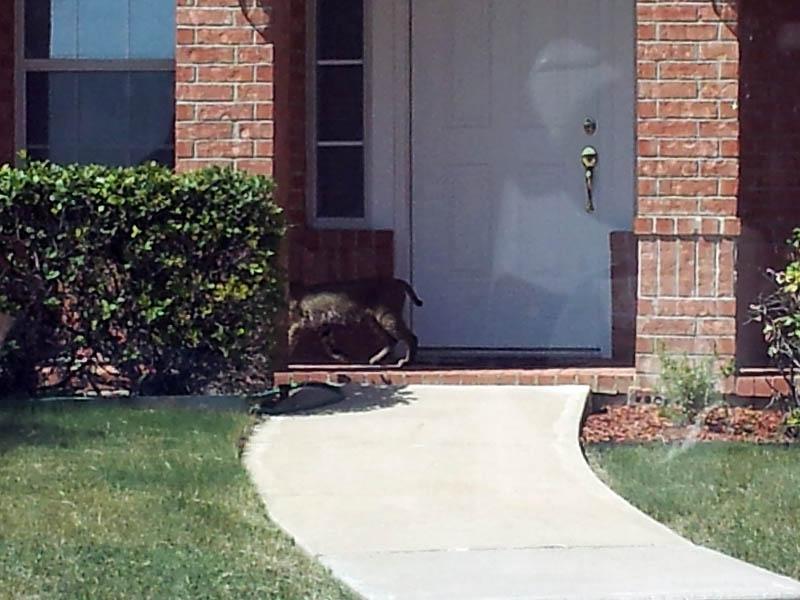 Bobcat - Neighborhood Stroll