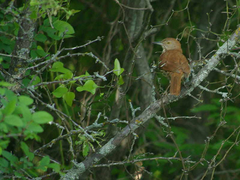 Brown Thrasher - Arbor Hills
