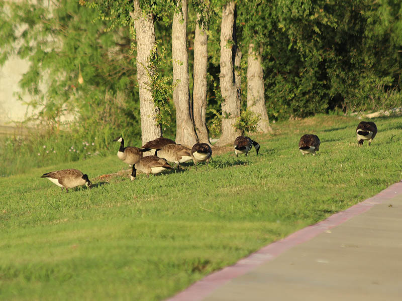Canada Goose - Urban Congregation