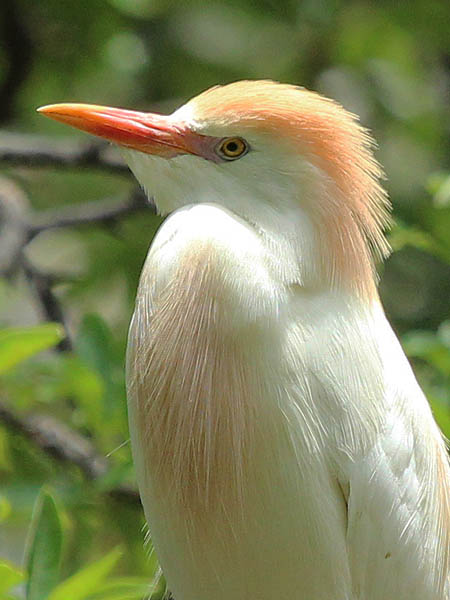 Cattle Egret - Nest Protection