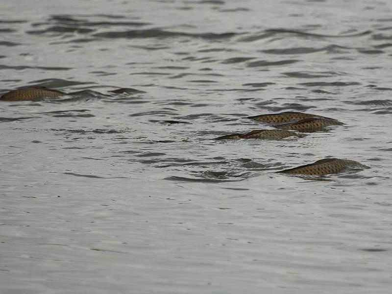 Common Carp - Spawning