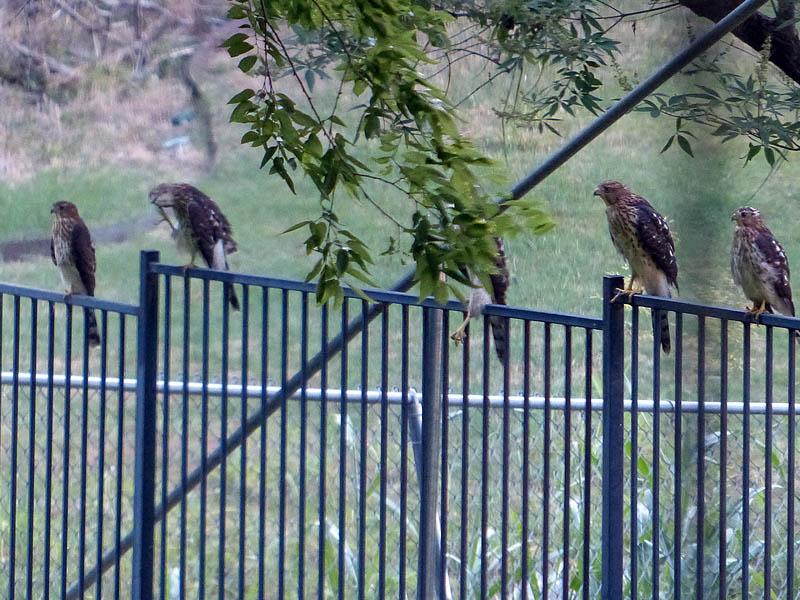 Cooper's Hawk - Family
