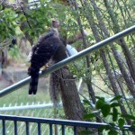 Cooper's Hawk - Free Pass