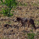 Coyote - Field Crossing