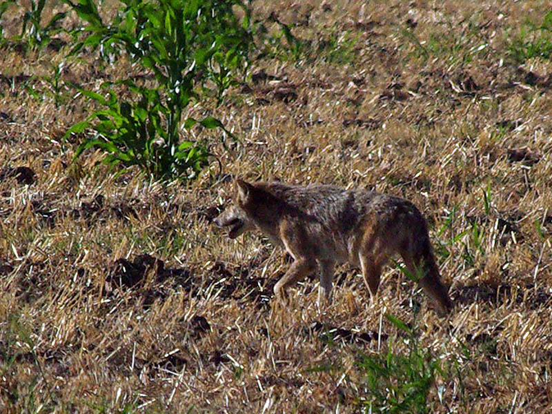 Coyote - Field Crossing