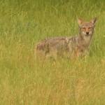 Coyote - Grassland