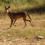 Coyote - We Saw You!