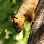 Fox Squirrel - Descent