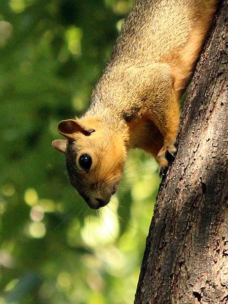 Fox Squirrel - Descent