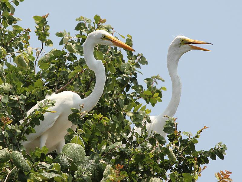 Great Egret - UTSWMC