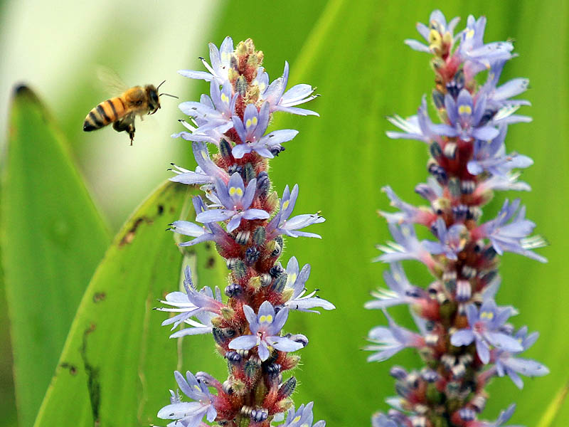 Honey Bee - Purple Pickerel Rush