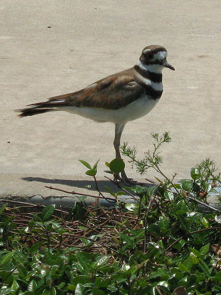 Killdeer - Diversion
