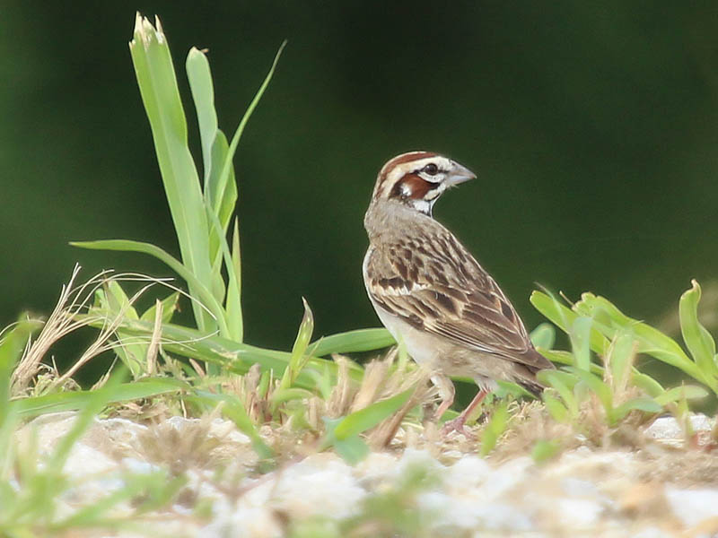Lark Sparrow - Ridge Patrol