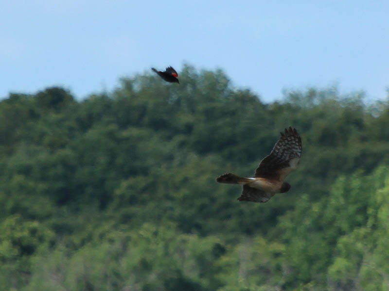 Northern Harrier - Harassed