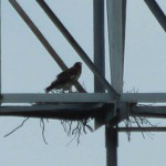 Red-tailed Hawk - Juxtaposed