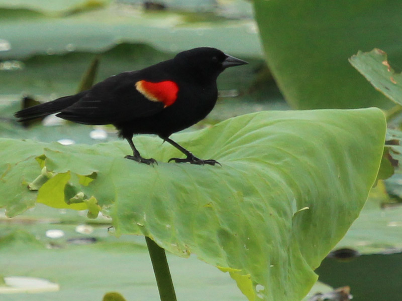 Red-winged Blackbird - Water Lilies