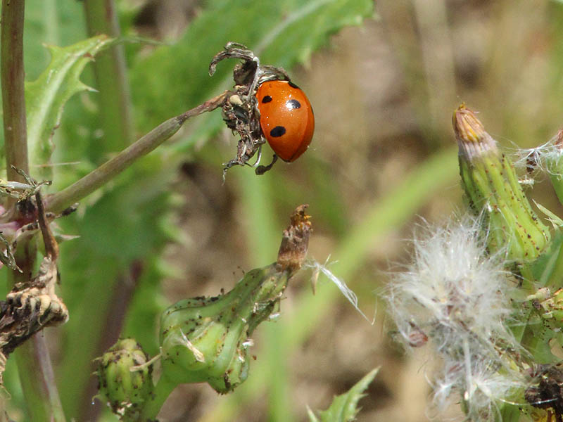 Seven-spotted Lady Beetle - Dandelion