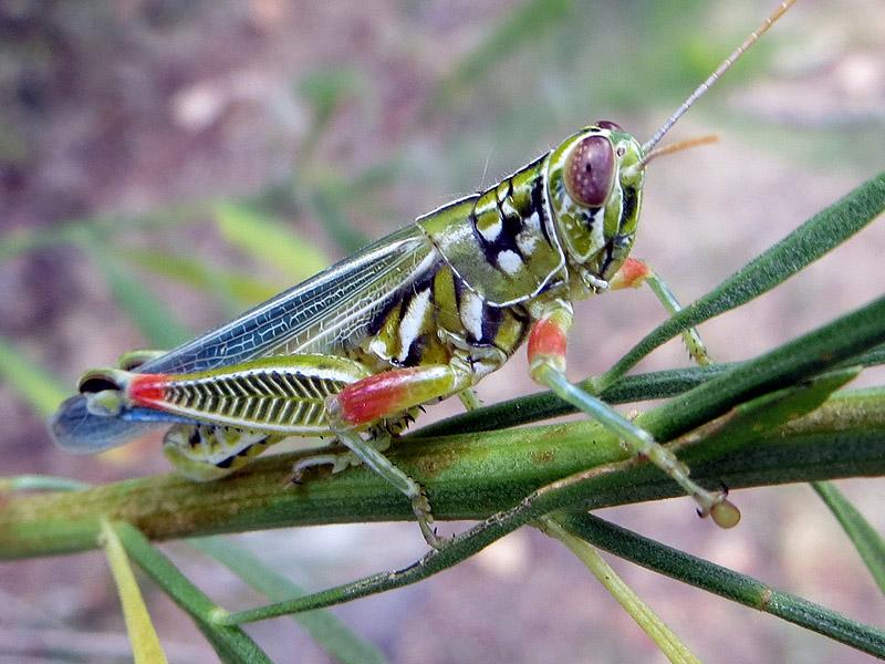 Snakeweed Grasshopper - Vivid