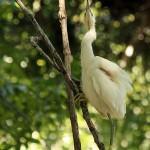 Snowy Egret - Vine Climbing