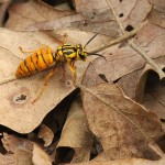 Southern Yellow Jacket - Scouting Queen