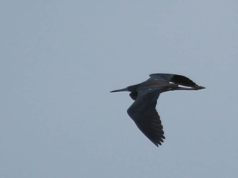 Tricolored Heron - Flyby