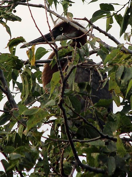 Tricolored Heron - UTSWMC Nest Update 11
