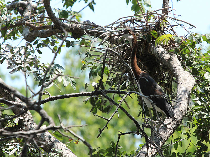 Tricolored Heron – UTSWMC Nest Update 12