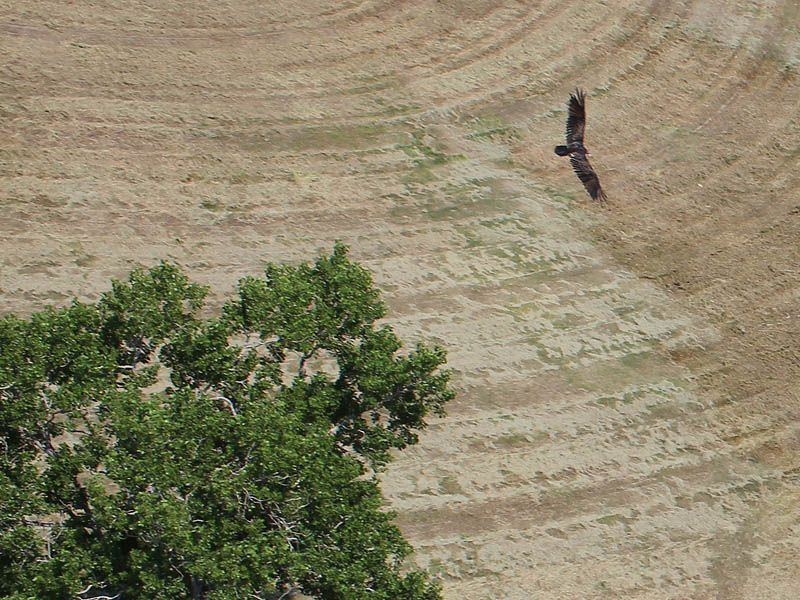Turkey Vulture - Rare Vantage Point