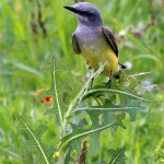 Western Kingbird - Meadow