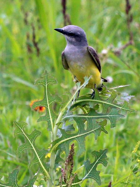 Western Kingbird - Meadow