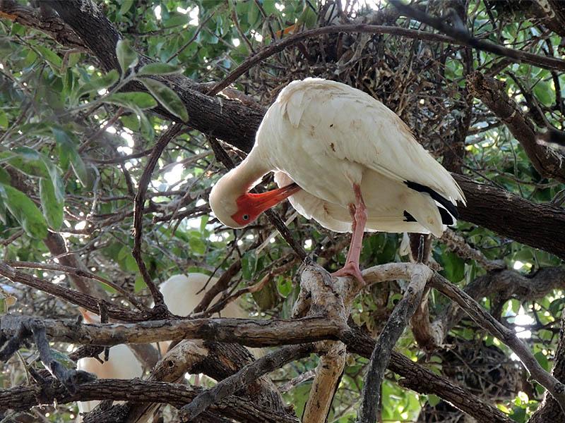 White Ibis - UTSWMC Nest Update 10