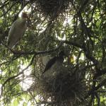 White Ibis - UTSWMC Nest Update 11
